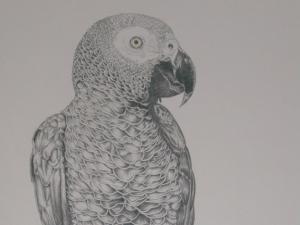 Grey-parrot1